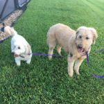 pet-sitting-at-weston-bailey-bella-3