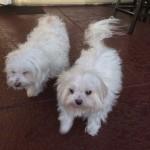 Pet Sitting at Weston Coconut Lola
