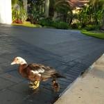 Pet Sitting at Weston Ducks