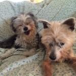 Pet Sitting at Weston Dutchess & Oreo 2