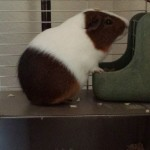 Pet Sitting at Weston Guinea Pig