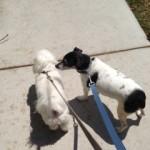 Pet Sitting at Weston Lucy & Popeye