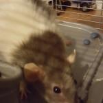 Pet Sitting at Weston Miles Rat 1