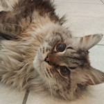 Pet Sitting at Weston Milo Cat