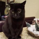Pet Sitting at Weston Minnie Cat 1