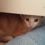 Pet Sitting at Weston Orange Tabby