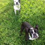 Pet Sitting at Weston Oreo & Winston