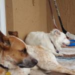 Pet Sitting at Weston Vinny Lexi