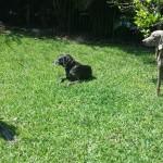 Pet Sitting at Weston Zuli & Ned 1